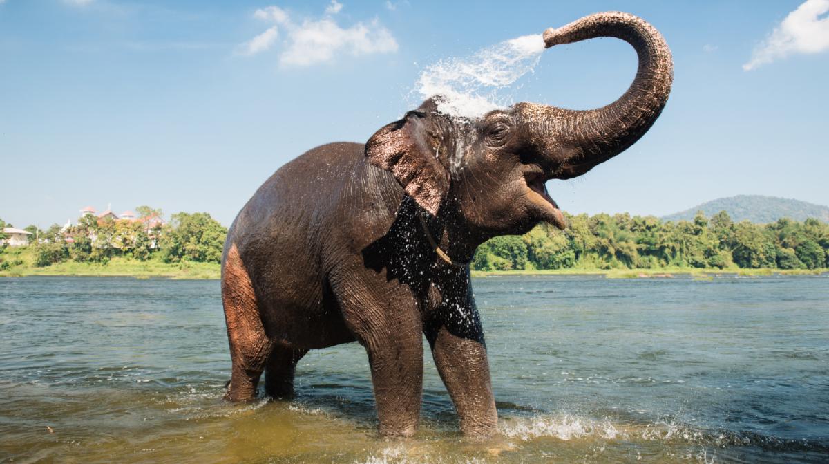 June, un elefante con artrosis, recibe Cosequin para mejorar su movilidad
