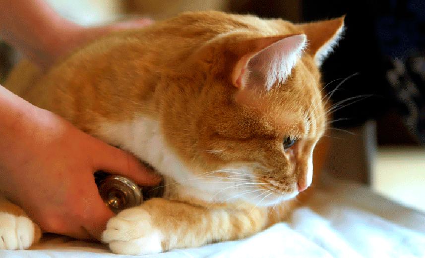 Evitar el estrés en el gato con cistitis idiopática