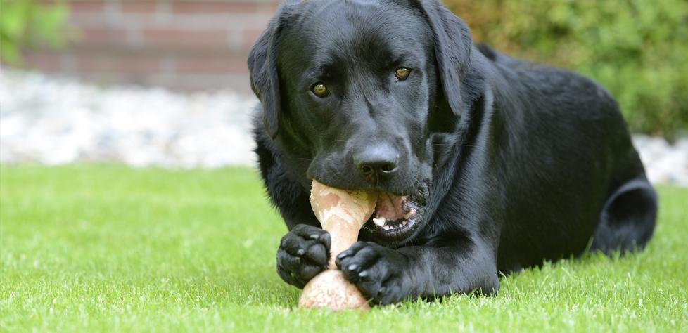 Labrador retriever: El perro más comilón debido a un gen