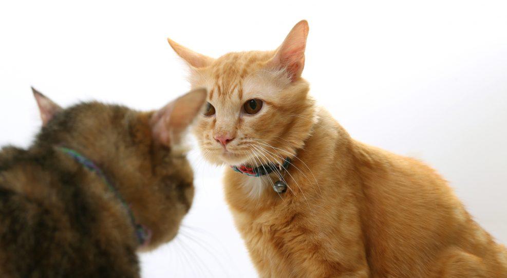 El segundo gato