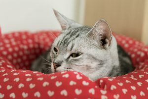 American Shorthair, cat sleeping in a red bed for cats