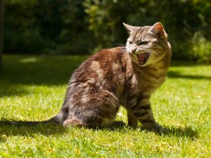 very agressive yelling cat in a garden setting