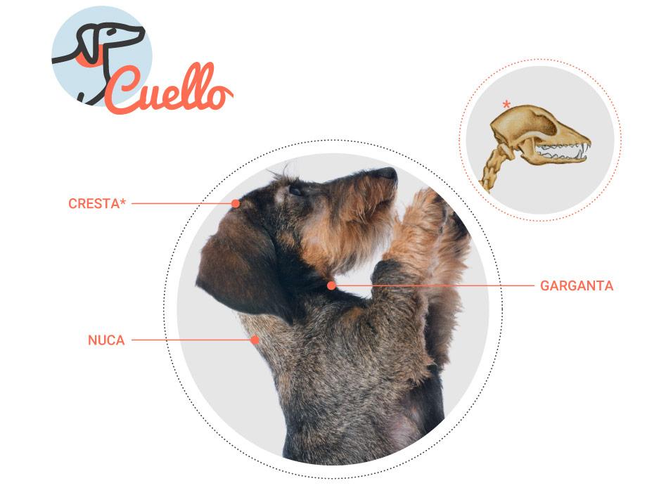 anatomia-perro rct