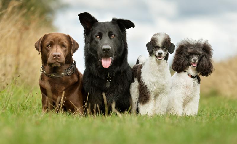 Genetistas estadounidenses construyen el árbol genealógico más completo de la evolución de las razas de perros