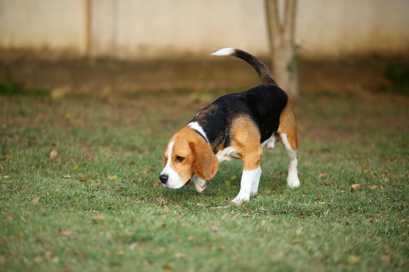Los perros se sienten más atraídos por el olor de su orina cuando se altera