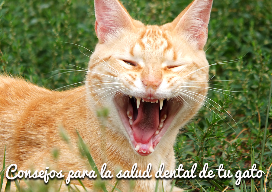 Salud-dental-gato